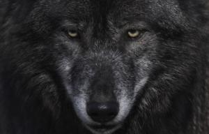 Une photo d'un loup tout noir et aux yeux jaunes